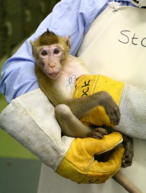 Tattooed Macaque Held By Technician: UAE