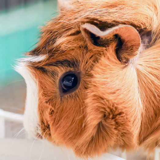 Campus Without Cruelty: Uni-Watch (Guinea Pig)