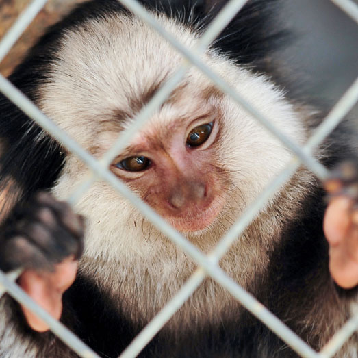 Campus Without Cruelty: Uni-Watch (Marmoset)
