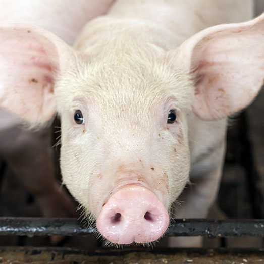 Campus Without Cruelty: Piglet