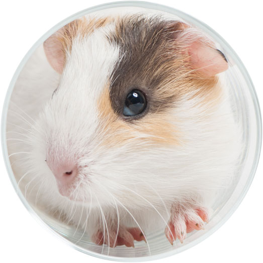 Campus Without Cruelty: Uni-Watch (Guinea Pigs)