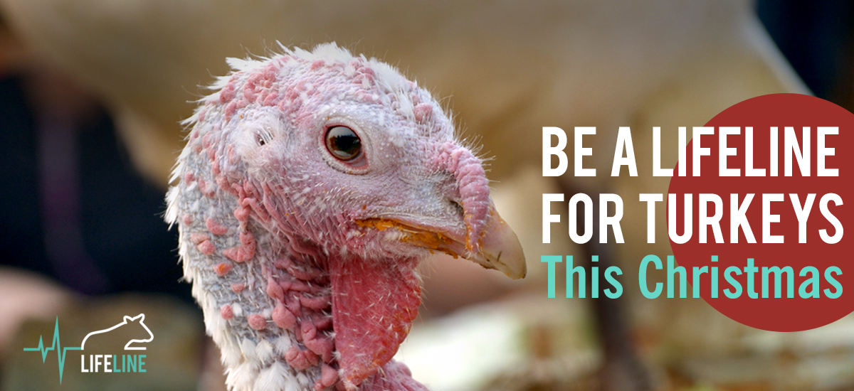 Be a lifeline for turkeys this Christmas